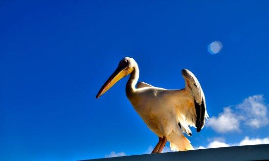 Dolphin Tours Namibia: Pelicano