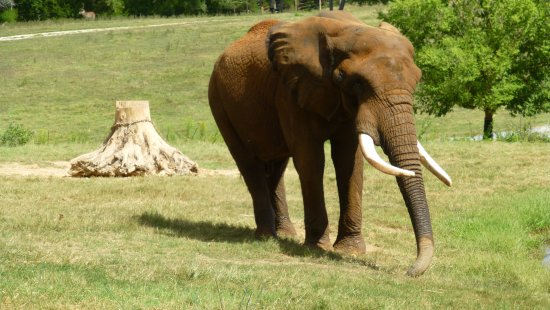 North Carolina Zoo: A close by elephant. We also saw three more in the field and 2 eating at their gate.