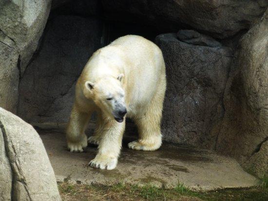 North Carolina Zoo: Coming out of his den