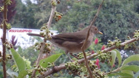 Bio Hostal Mindo Cloud Forest: Ecuadorian Thrush Mindo