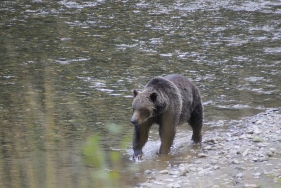Sidney, Kanada: Grizzly watching outside Bella Coola