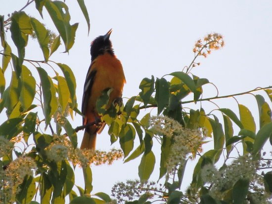 Manns Choice, Pensilvania: Glorious male Baltimore Oriole singing in a tree.