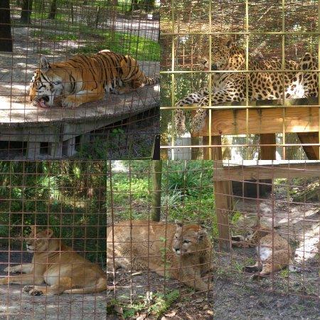 Big Cat Rescue : IMG_20160917_180353_large.jpg