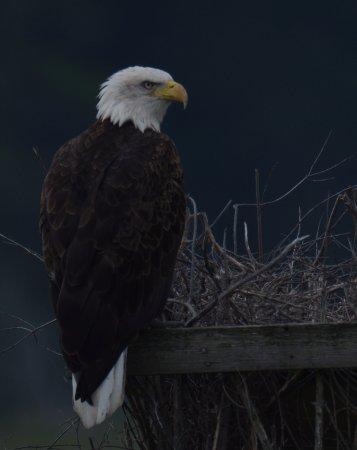 Daisey's Island Cruises: Bald Eagle close up