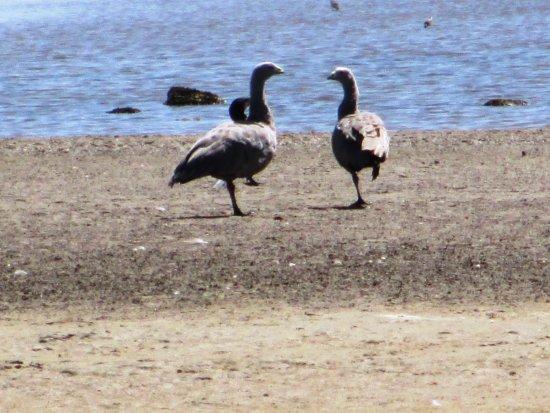 Goolwa, Australia: Bird life