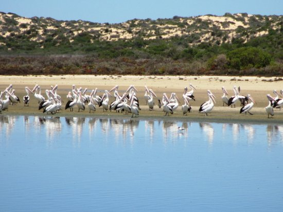 Goolwa, Australia: Lots of pelicans