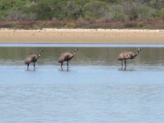 Goolwa, أستراليا: Emus