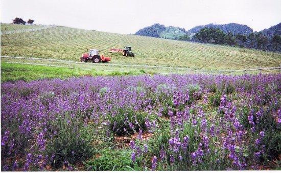 Kyotango, Jepang: lavender farm in Ikari Highlands Farm