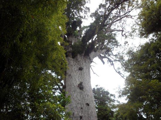 Waipoua Forest, Nueva Zelanda: Tane Mahuta