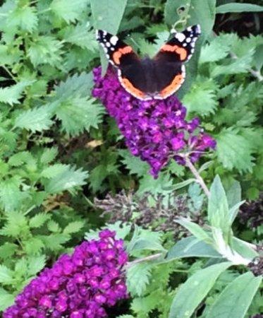 Heacham, UK: Butterflies on the Lavender