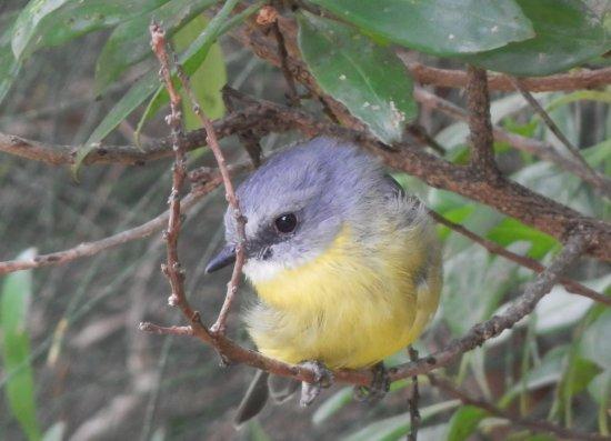 Vincentia, Austrália: a charming little resident at Blenheim Beach... (Eastern Yellow Robin)