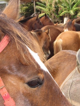 Cabañas Pikera Uri: Horses getting ready for their daily tours with visitors