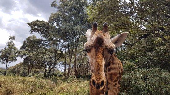 African Fund for Endangered Wildlife (Kenya) Ltd. - Giraffe Centre: Giraffe - up Close and Personal