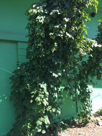 Fort Collins, CO: Hop vines growing outside