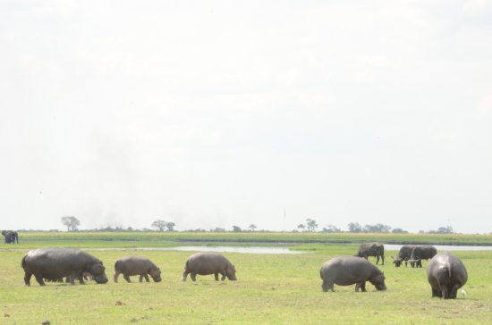 andBeyond Chobe Under Canvas: Photos from a Game Drive: Hippo and Buffalo grazing