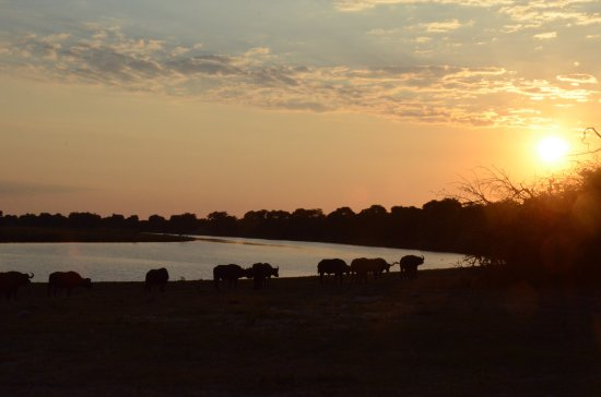 andBeyond Chobe Under Canvas: Photos from a Game Drive: Sunset, and Buffalo