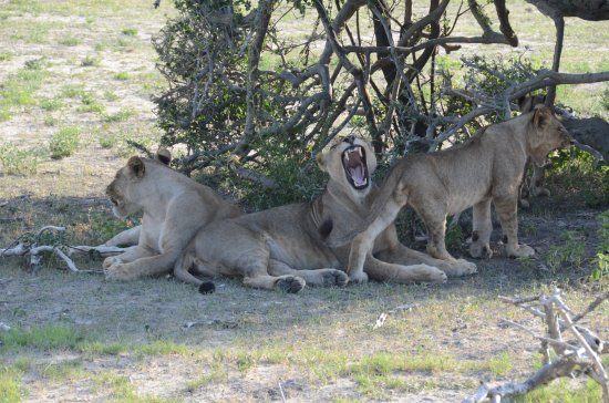 andBeyond Chobe Under Canvas: Photos from a Game Drive: Lions in the shade