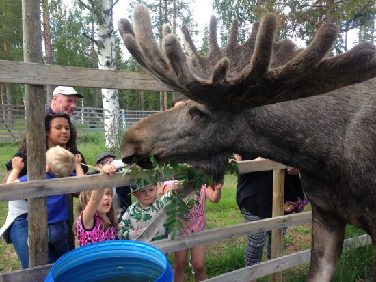 Overkalix, Sweden: Kids feeding the moose.