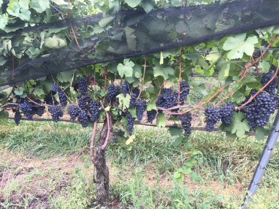 Kutztown, PA: Grapes ready for the picking