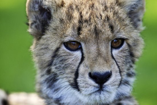 Winston, OR: Cheetahs