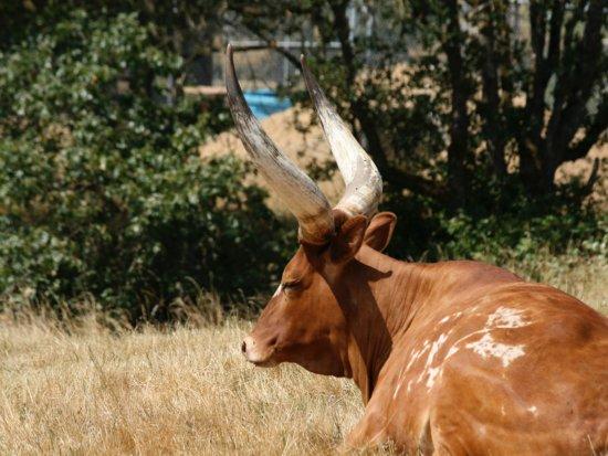 Winston, OR: Long horns