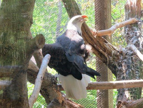 Gray, ME: Eagle.