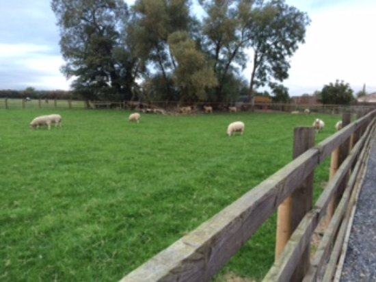 Yarm, UK: Sheep grazing at the front of the stables