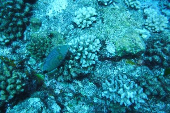 Coral and fish picture of mai kai bora bora vaitape for Bora bora fish