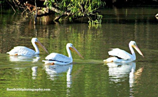Pelicans on Council Grove Reservoir Sept 16