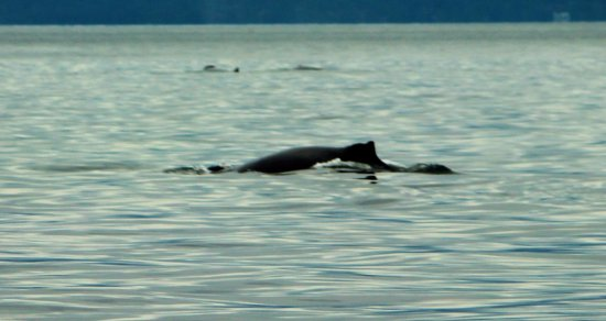 Halfmoon Bay, كندا: Humpback whales Septemeber 6 2016