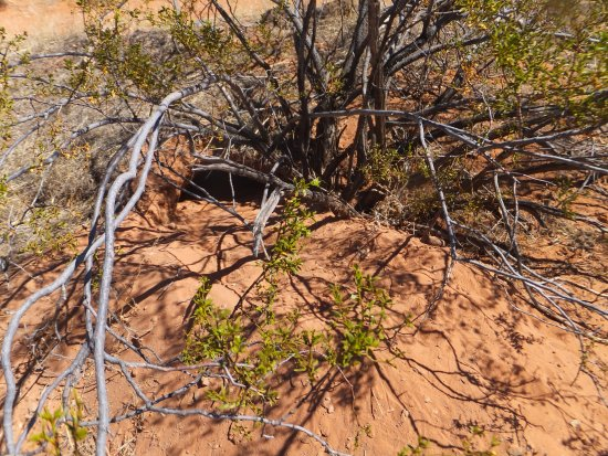 Saint George, UT: The tortoise home below the bush and it was on the opposite side where we found the tortoise