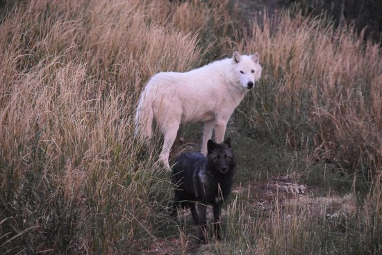 Howlers Inn Bed & Breakfast and Wolf Sanctuary: 2 of the resident wolves