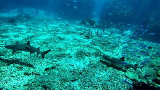 Kuata Island, Φίτζι: Amazing shark snorkelling