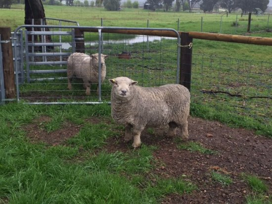 Mudgee, Australië: short sheep!