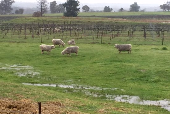 Mudgee, Australië: sheep in the vines