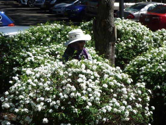 วุลลองกอง, ออสเตรเลีย: Beatiufl flowering plant in the temple ground