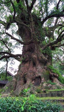 Aira, Япония: 巨大なクスノキ、実物でないと大きさが分からない