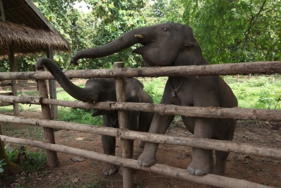 Ban Xieng Lom, Laos: Feeding the baby elephants... what a special treat.