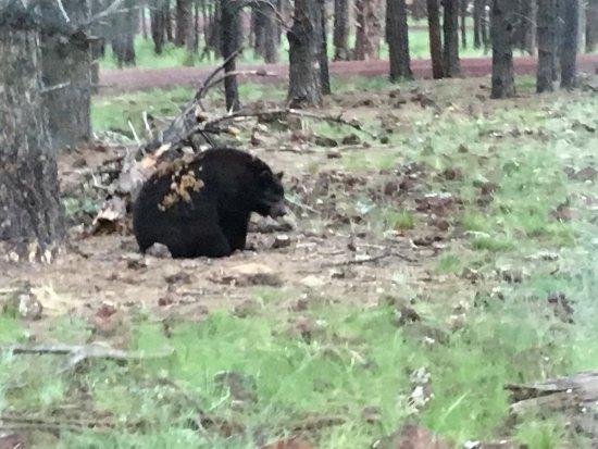 Williams, AZ: Un orso durante il safari