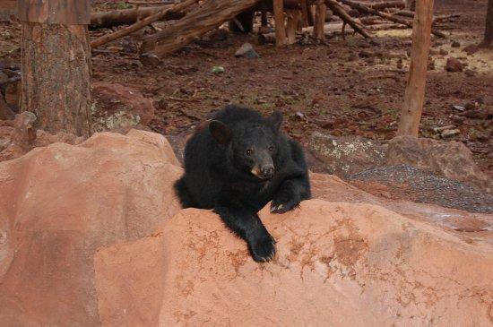 Williams, AZ: Un orsetto