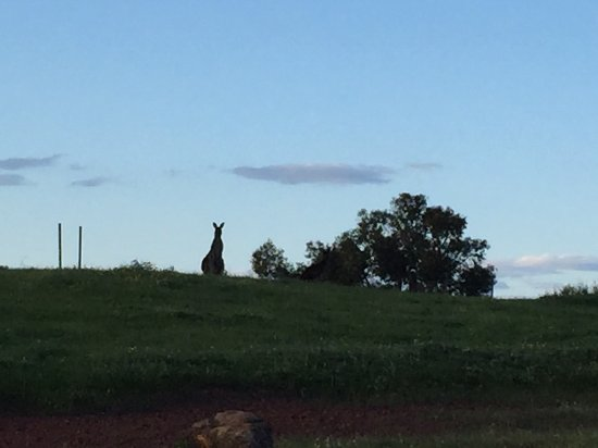 Brigadoon, Australia: lots of kangaroos roaming around