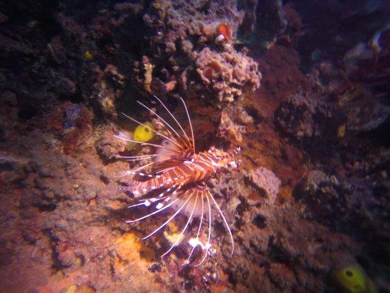 Malapascua Island, Filipinas: Lionfish