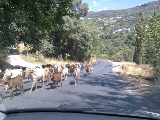 Pitres, Hiszpania: the road full of goats below Pampaneria.