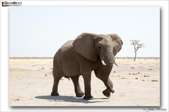 Ghoha Hills Savuti: Elephant at Ghoha Hills