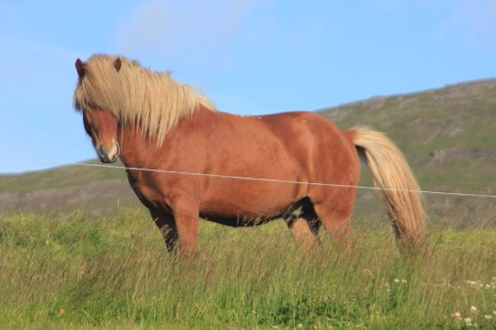Blonduos, Island: A Nordic horse. Beautiful!