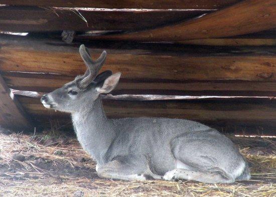 Deer, Bearizona Wildlife Park, Williams, AZ