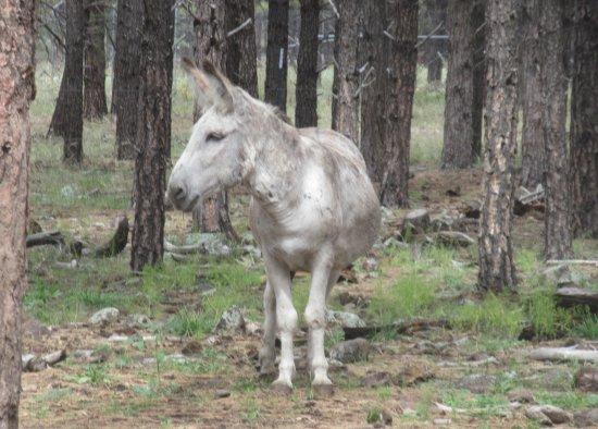 Burro, Bearizona Wildlife Park, Williams, AZ