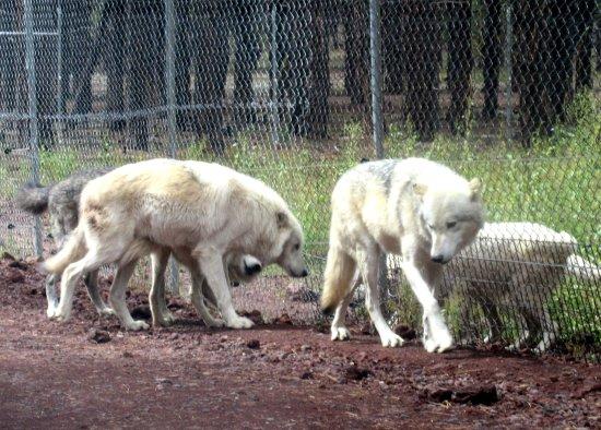 Wolves, Bearizona Wildlife Park, Williams, AZ