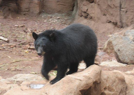 Black Bear, Bearizona Wildlife Park, Williams, AZ