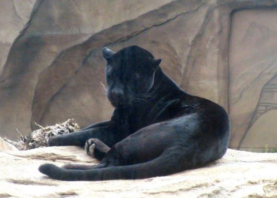 Leopard, Bearizona Wildlife Park, Williams, AZ